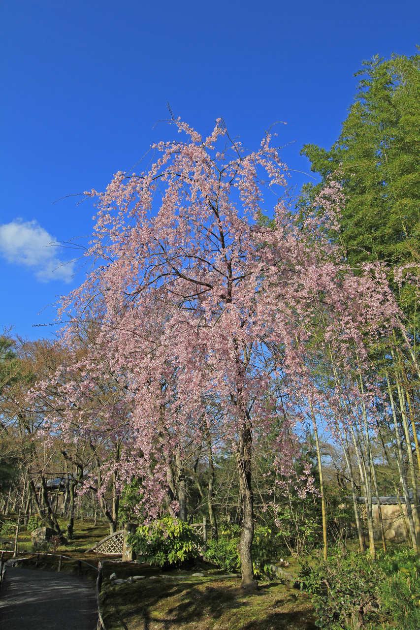 京都櫻花季